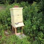 Bees are kept strategically throughout Drumlin farm at the edge of fields, and in areas where pollination routes can be enhanced.