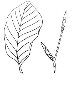 fagus-sylvatica