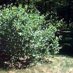 Black chokecherry